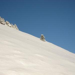 Sapins de la Vallée Blanche
