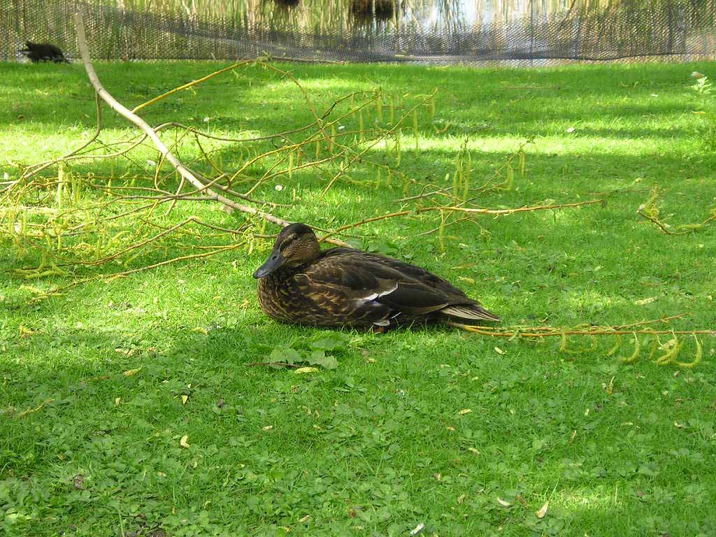 Canard colvert endormi