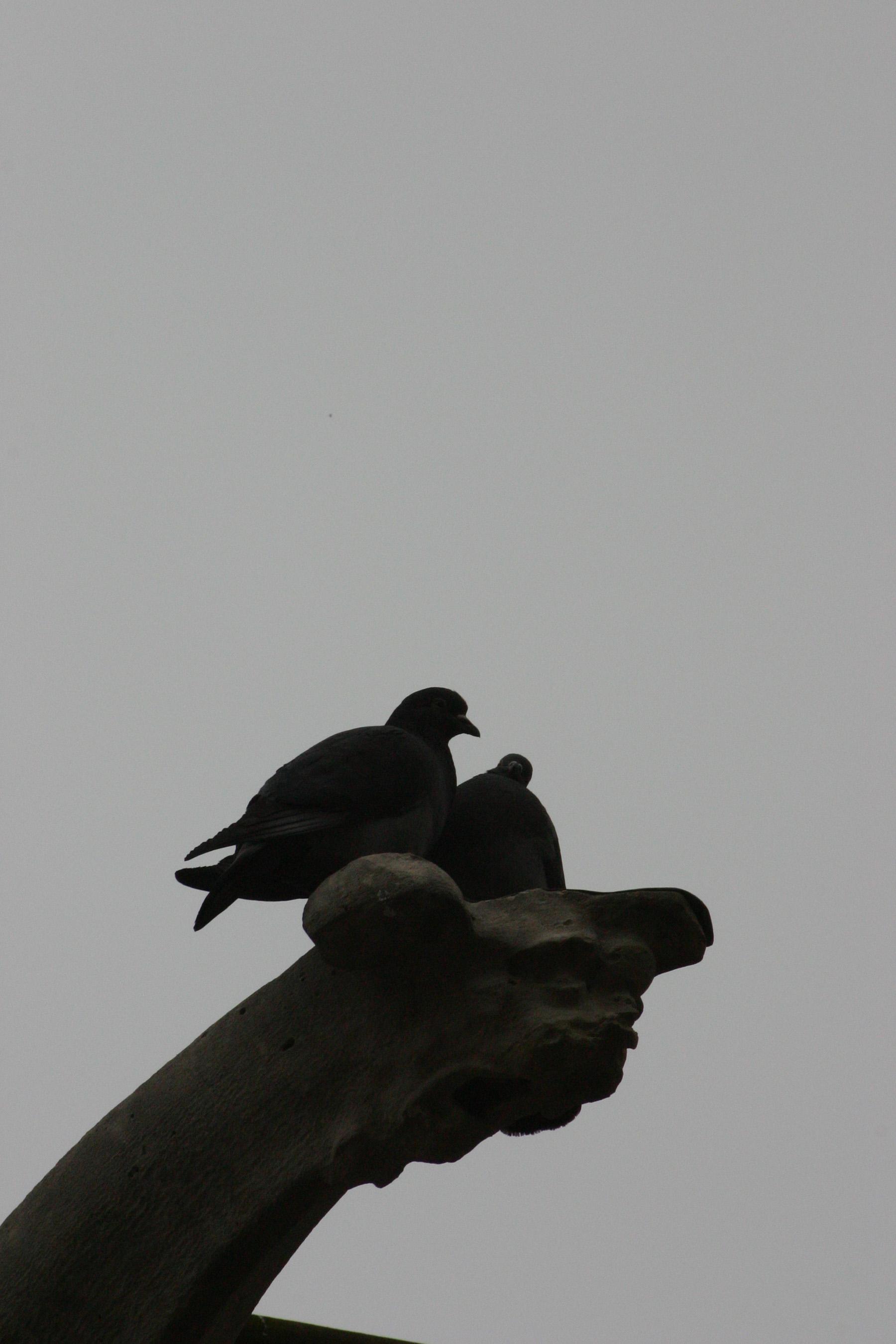 Ombres de pigeons