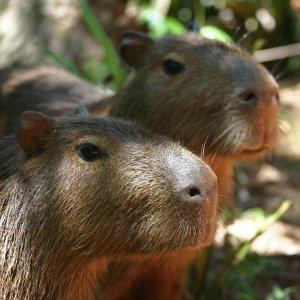 Couple de Capybaras