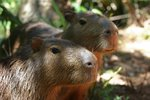 Couple de Capybaras