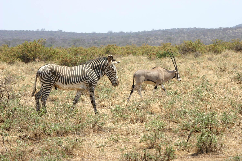 Zèbre et Oryx