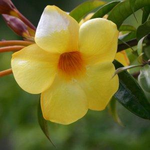 Allamanda (La Réunion)