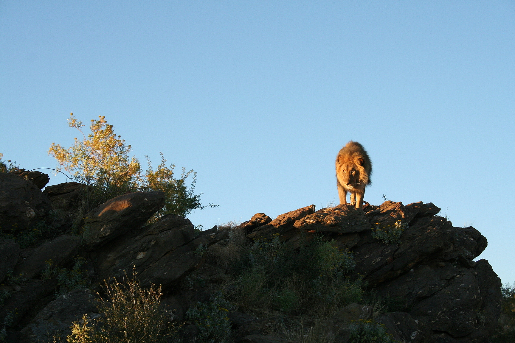 Lion à Amani Lodge, Namibie