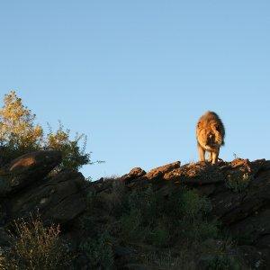 Lion à Amani Lodge, Namibie