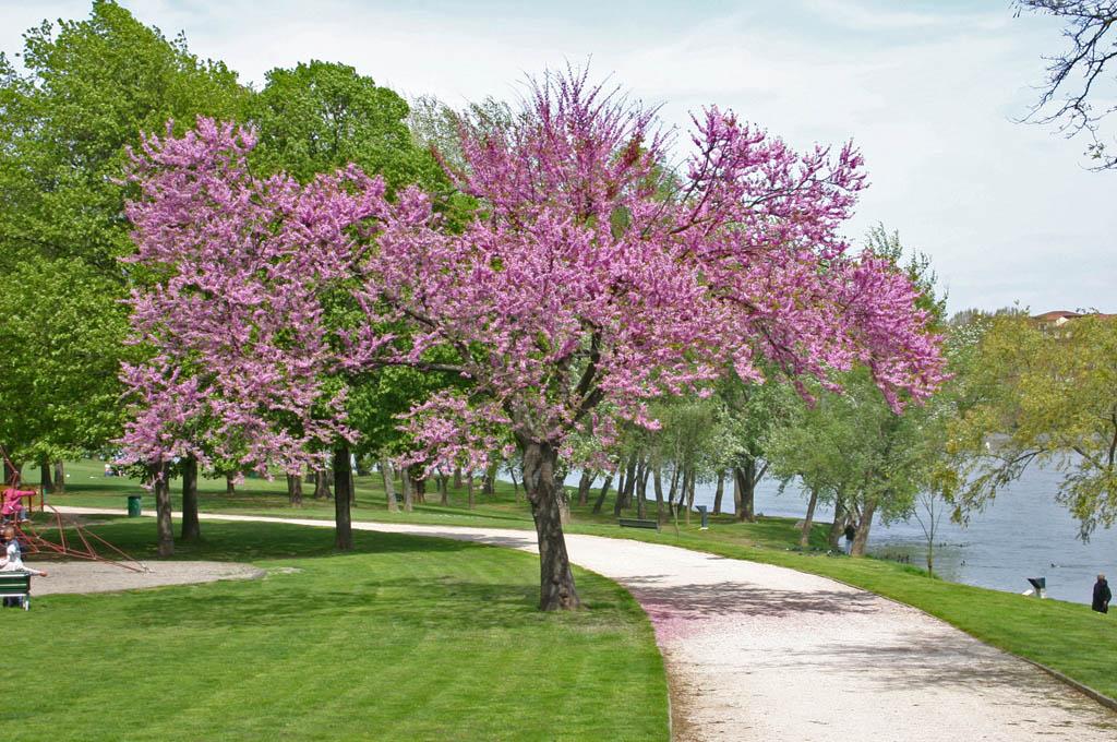Cerisier japonais sur Freemages