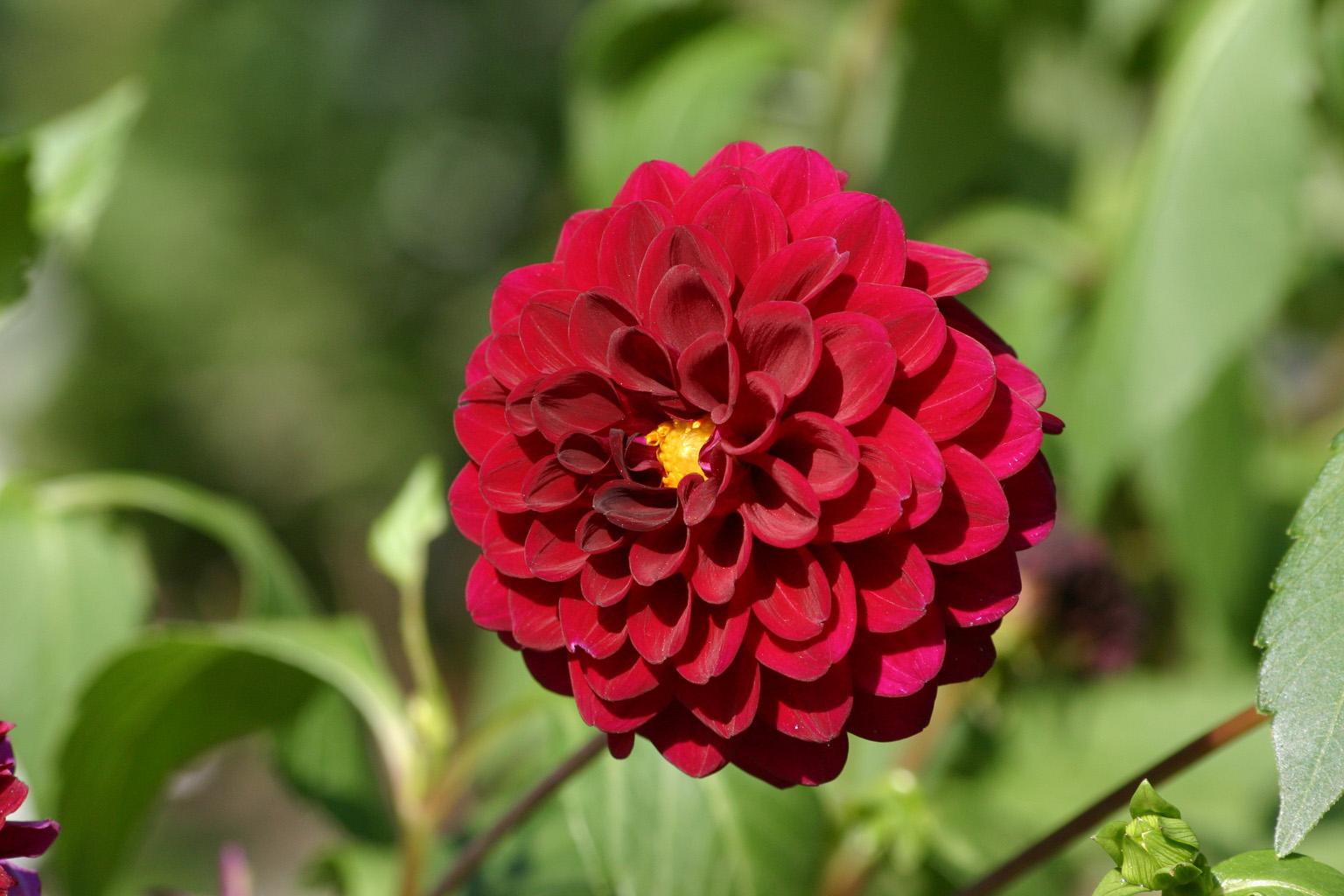 Fleur rouge sur freemages for Les fleur