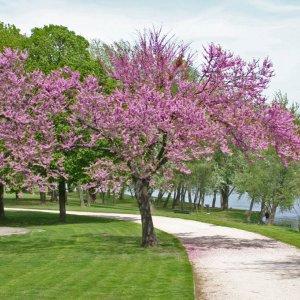 Cerisier japonais